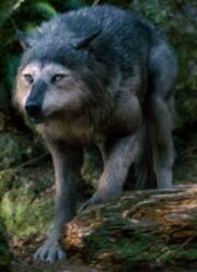 Wolves - Copy (2)