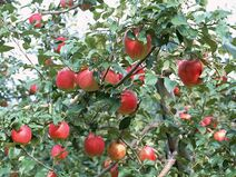 Fruit apple apple-tree wallpaper DU137