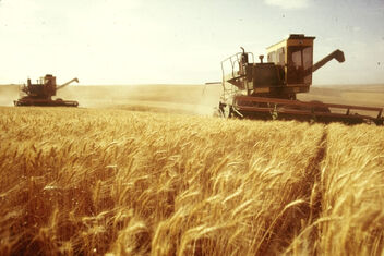 Wheat Harvesting USSR