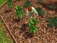 Iva gardening