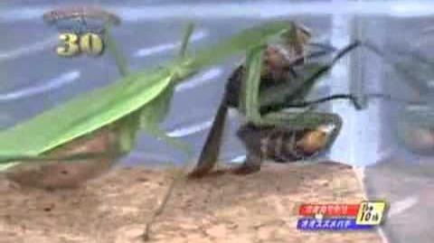Hornet Vs Praying Mantis Hornet - Japane...