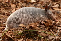 Armadillowikipedia