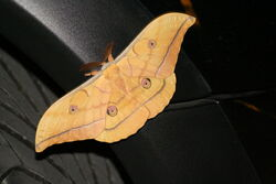 Japanese Oak Silk Moth