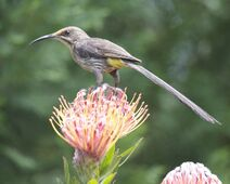 Cape Sugarbird (Promerops cafer) 2