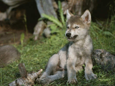 An 8 week old gray wolf pup canis lupus bares his teeth in a snarl