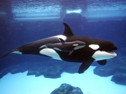 624baea230674a069176f58057f7308e killerwhale3 460x345