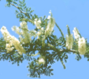 Acacia