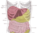 Peritoneum