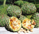 Bunya nut