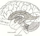Cerebral ventricles